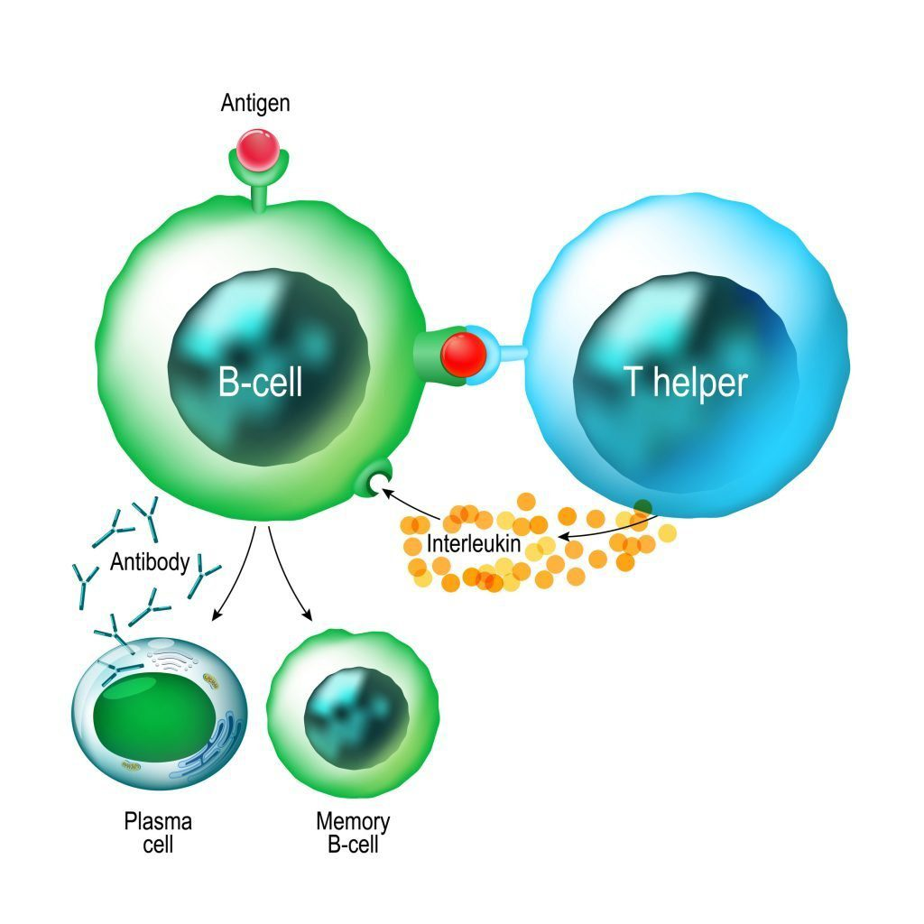 Simplified drawing of B cells and T Helper Cells
